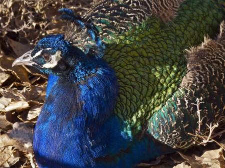 Peacock plumage.
