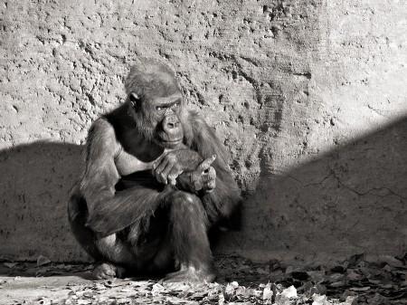 Gorilla, Albuquerque Zoo, NM