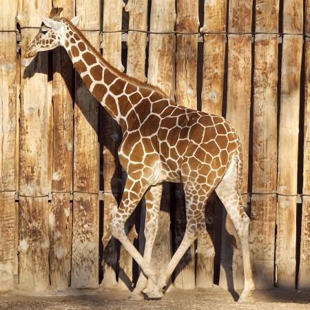 Young giraffe, Albuquerque Zoo, NM