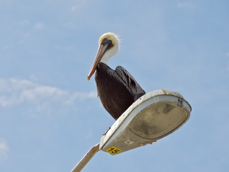 Pelican on streetlamp.