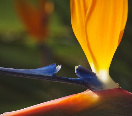 Detail of bird of paradise flower.