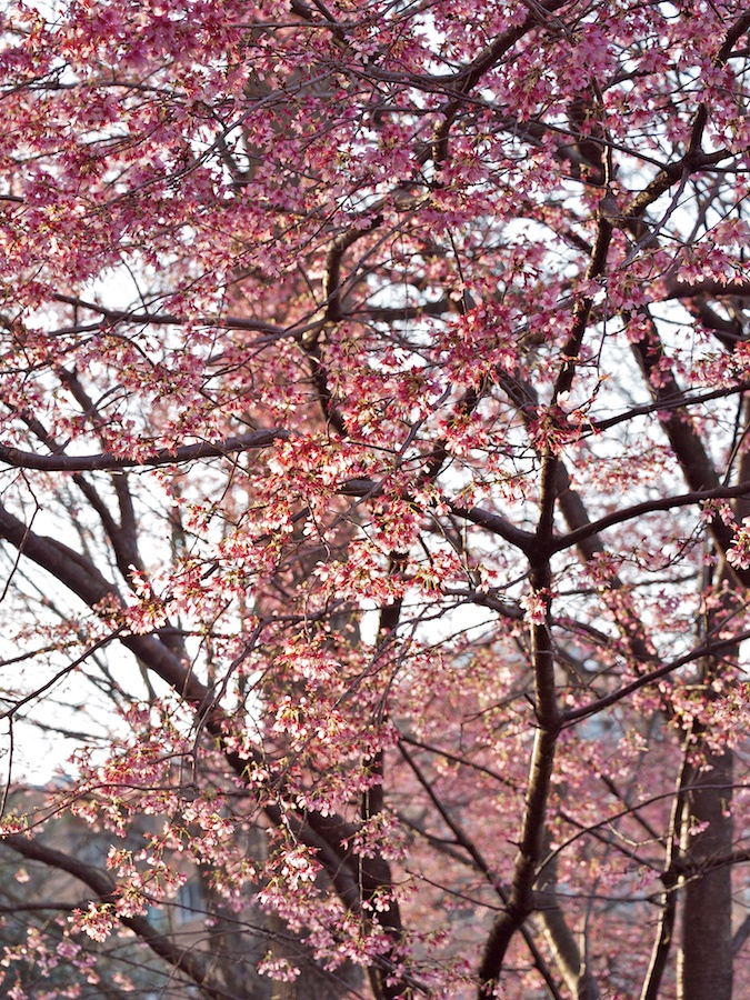 Cherry Trees on Connecticut Ave., DC