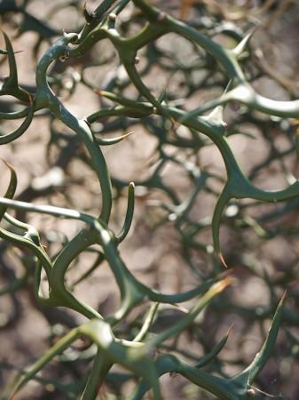Bitter orange branches.