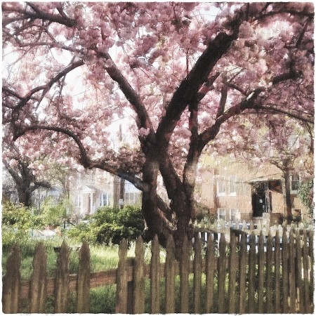 Altered photo of cherry tree in yard.