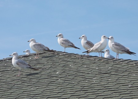 Seagulls on roofline, Florida.