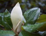 Magnolia Bud after thundershower.