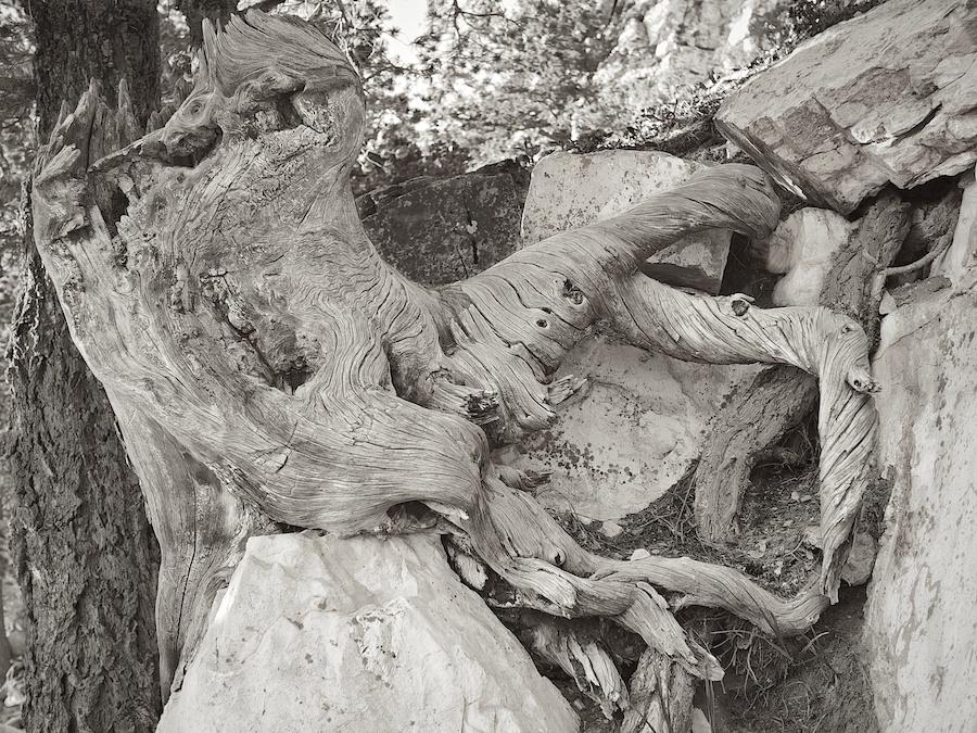 Weathered tree stump, Sandia Peak, ABQ, NM