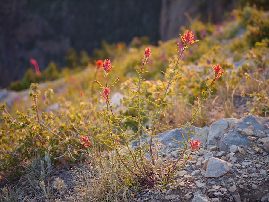 Indian Paintbrush, Sandia Peak, Albuquerque, NM