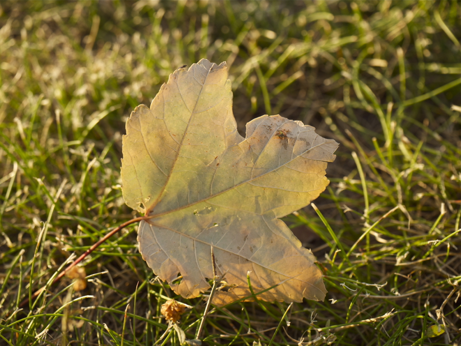 Backlit leaf in grass.