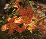 Striving day-lillies.