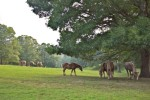 Horses grazing, Biltmore Estate, Asheville, NC