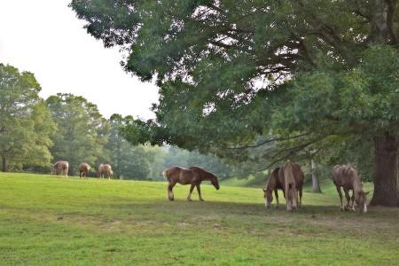 Horses grazing, Biltmore Estate, Asheville, NC
