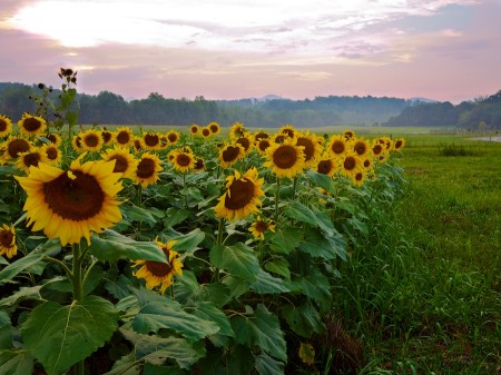 Sunflowers at twilight, Biltmore Estate, Asheville, NC