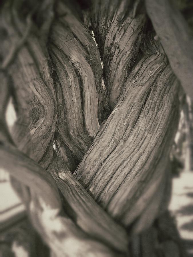 Intertwined vine trunks.