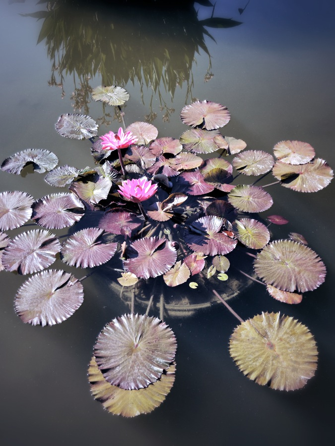 Lotus and pads, Biltmore Estate, Asheville, NC