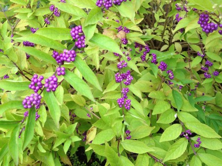 Purple berries, green leaves.