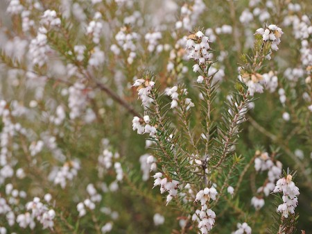 A dusting of winter flowers something beautiful a daily appreciation white flower buds on evergreen bush mightylinksfo