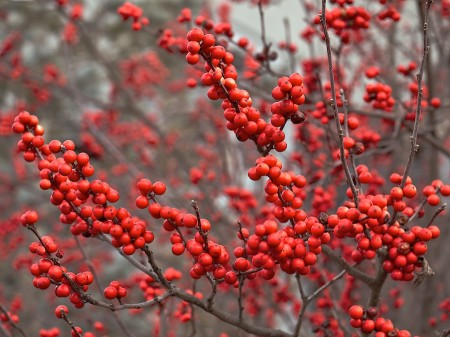 Red berries in winter.