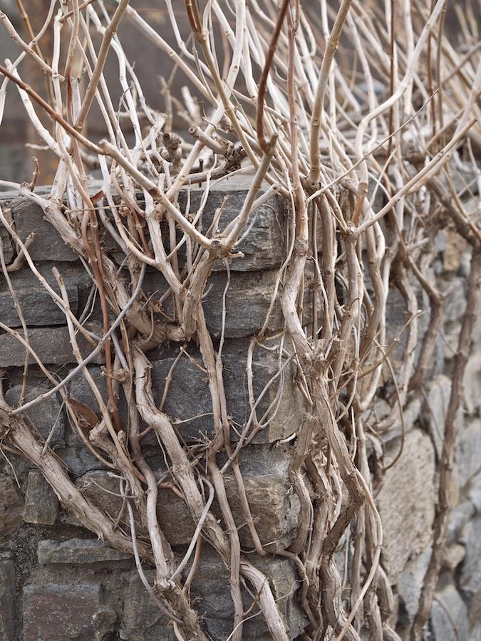 Climbing vines/bush in winter on stone wall.