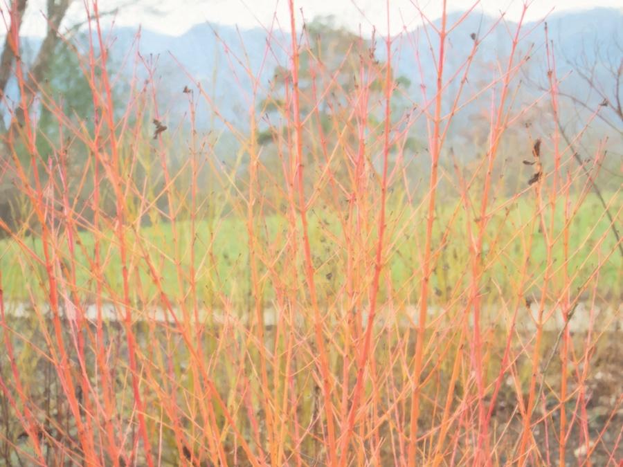Altered orange bushes against mountain background.