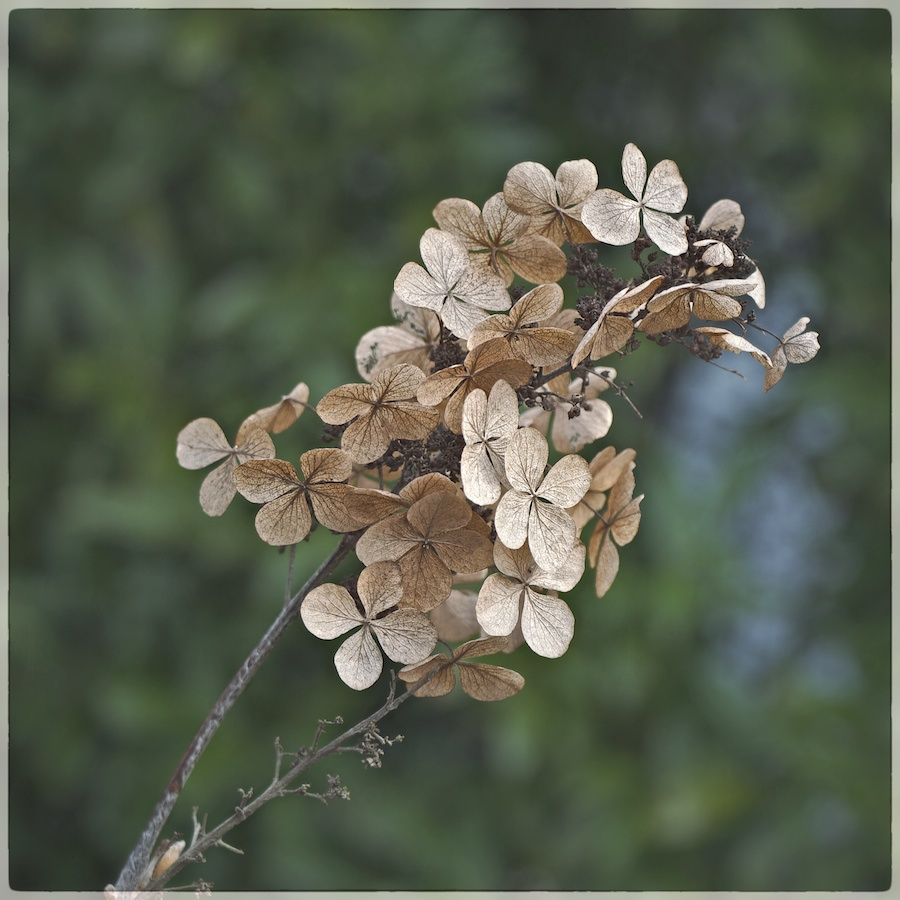 Dried hydrangea on stem.