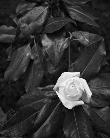 Black and white image of magnolia blossom and foliage after rain.