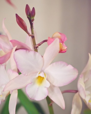 Pale pink orchid.