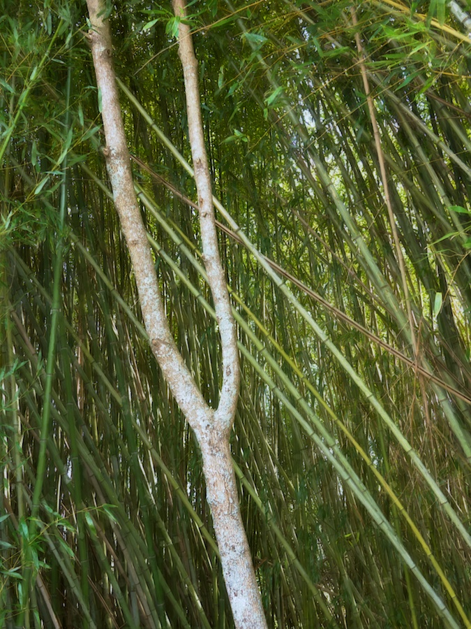 Bamboo with tuning-fork shaped tree in front.