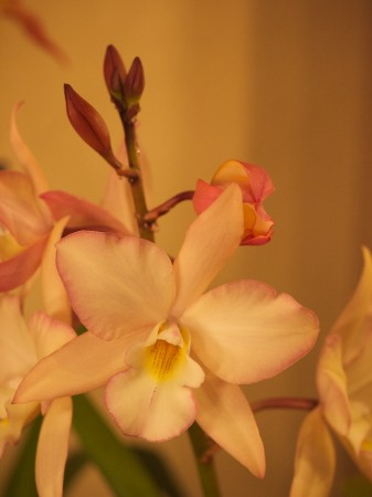 Uncorrected orchid image.
