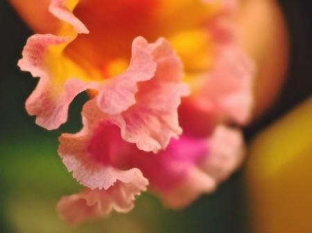 Orchid edge-ruffles.