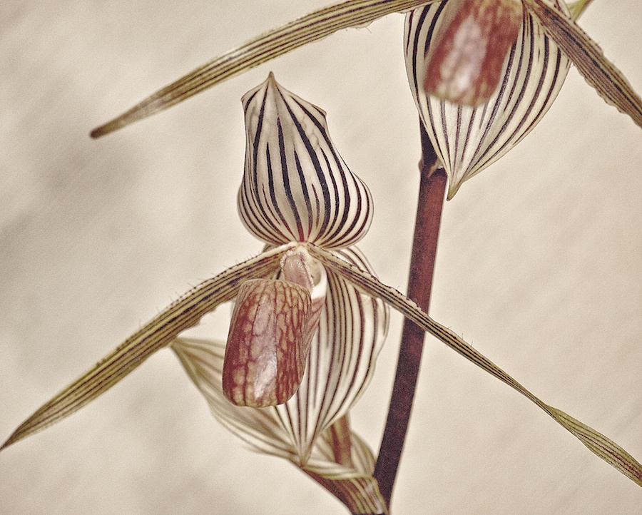 Striped orchid.