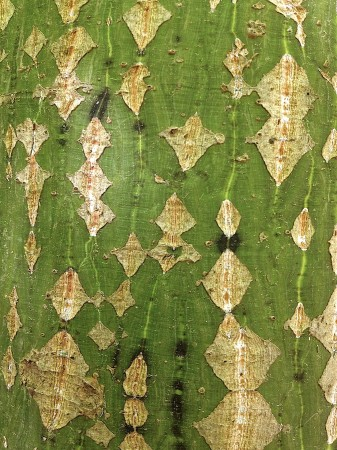 Diamond-patterned bark.