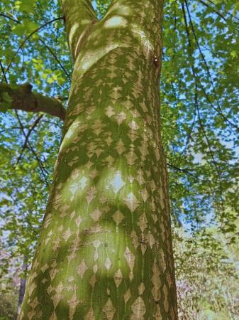Tree with diamond-patterned bark.