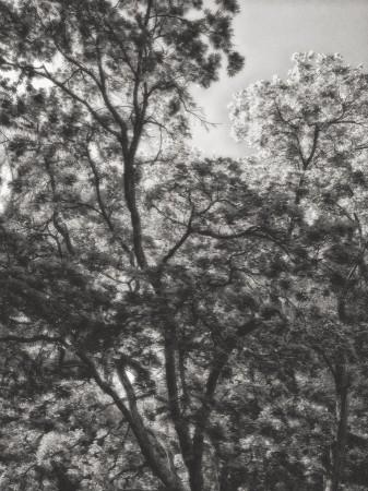 Black & white image of Japanese Maple, Biltmore Estate, Asheville, NC