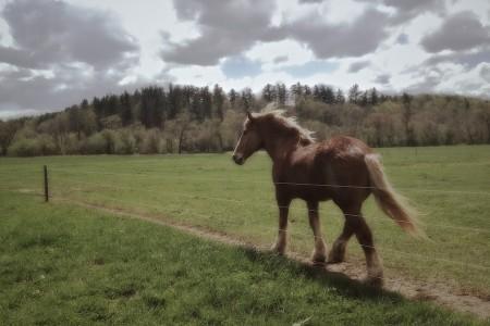 Belgian horse, Biltmore Estate, Asheville, NC