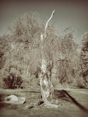Tree, Carrier Park, Asheville, NC