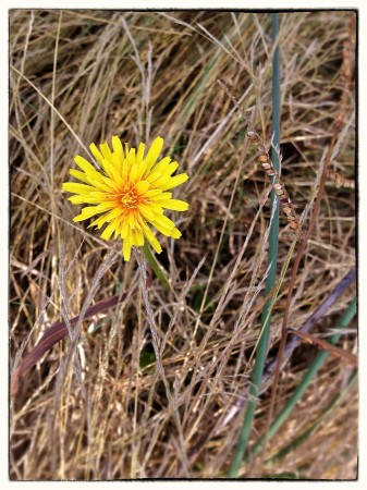 Autumn dandelion in dried grasses.