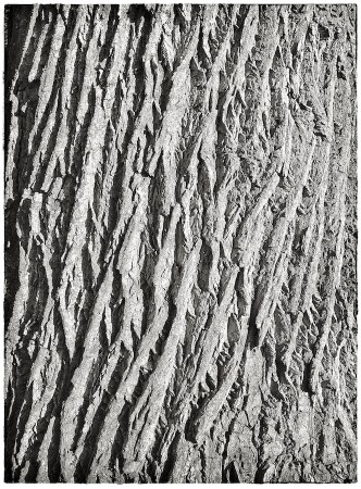 Bark of an old oak tree.