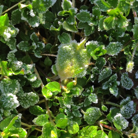 Frost and sun on small leaves of ground cover.
