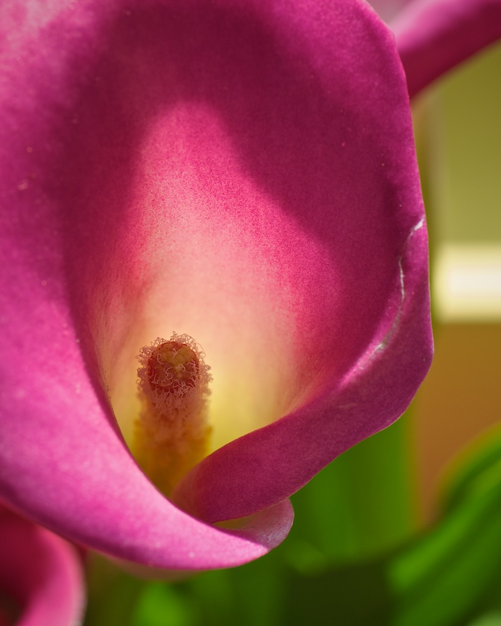 Close-up of calla lily.