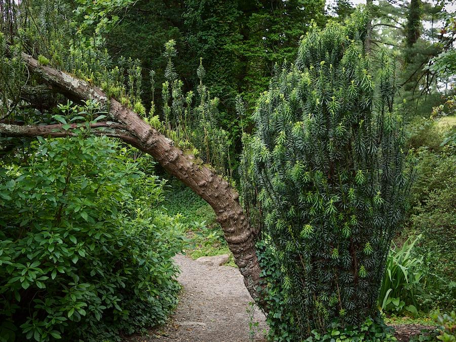 Japanese Yew, Biltmore Estate, Asheville, NC