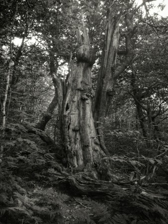 Black and white pictures of hollowed out tree.