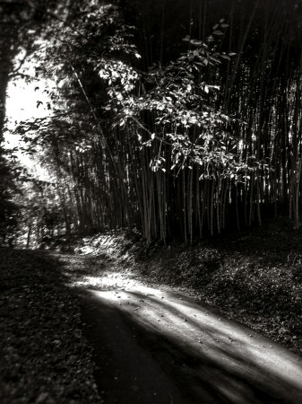 Black & white image of path through bamboo and other trees.